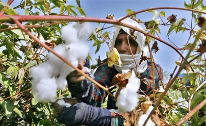 Egyptian Cotton Production to See Massive Boost to Meet High Demand