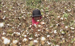 From Christian Dior to Hugo Boss: Why Fashion Fears the Extinction Of Egyptian Cotton