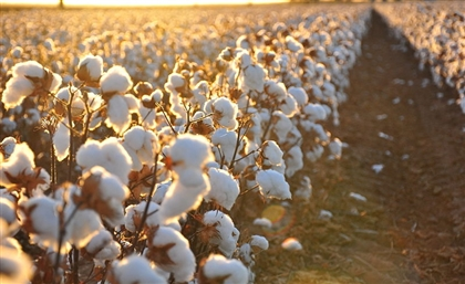 Egypt's Famed Cotton Industry Seeing a Massive Recovery; Exports up Nearly 20 Percent in 2017