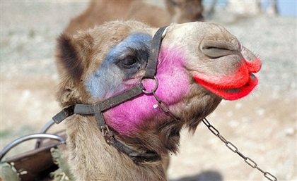 Red-Handed: 12 Camels Disqualified From Beauty Contest in Saudi Arabia For Using Botox