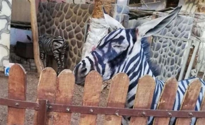Egypt's Central Administration of Zoos Vehemently Defends Nasr City's 'Zebra'