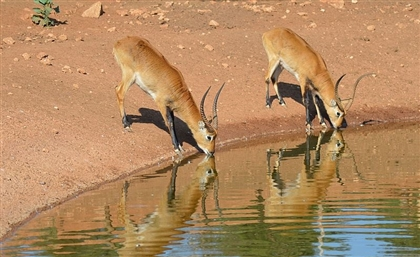 13 Endangered Animals Native to Egypt