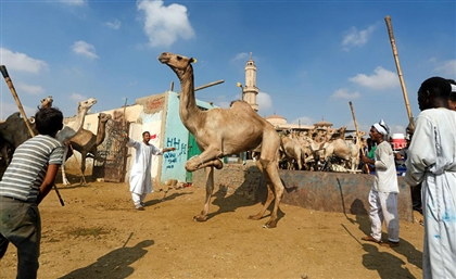 Surveillance System Installed at Cairo's Birqash Camel Market After Latest Animal Abuse Incident