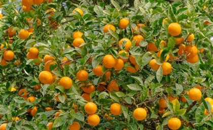 Cairo University is Launching 'Green Egypt' Initiative Planting 1 Million Fruit Trees