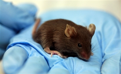 Ministry of Higher Education and Scientific Research Tests Coronavirus Vaccines on Rodents