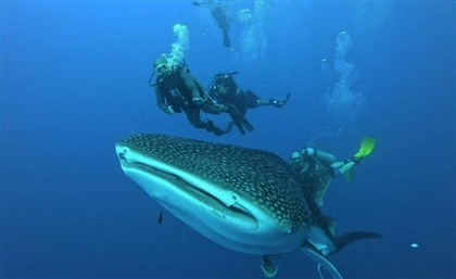 Whale Shark Greet Divers in Abu Galoum Protected Area After Red Sea Clean-Up
