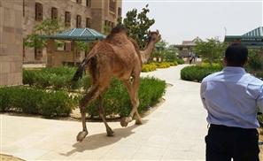 VIDEO: Camel Loose on AUC Campus