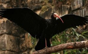 Rare Bird May Go Extinct Because of ISIS