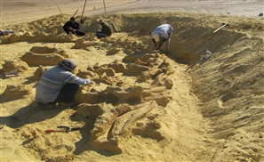 Fossil of Whale Inside Whale Inside Giant Shark Unearthed in Egypt