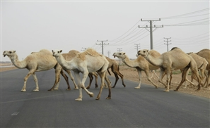 NSFW: Camels Cause Deadly Accident on Alamein Road