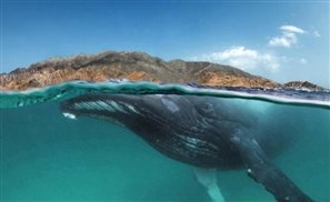 VIDEO: Humpback Whale Spotted in the Red Sea