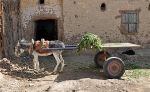 Egypt to Send 10,000 Donkeys to China